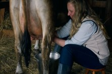Milking in the evening